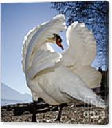 Swan In Backlight Canvas Print