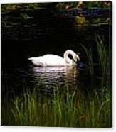 Swan In September Canvas Print