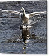 Swan Touches Down Canvas Print