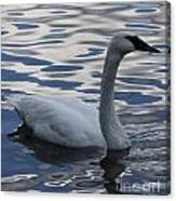 Swan Watching Canvas Print