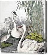 Swans, C1850 Canvas Print