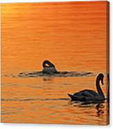Swans In Early Light  Canvas Print