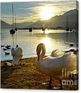 Swans In Sunset Canvas Print