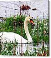 Swan's Marsh Canvas Print