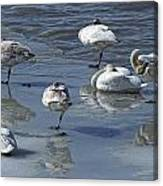 Swans On The Ice Along The Tagish Canvas Print