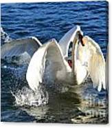 Swans Playing Canvas Print