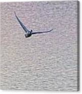 Swans Taking Off From Tagish River Canvas Print