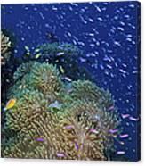 Swarms Of Small Baitfish Swim Canvas Print