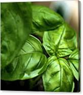 Sweet Basil From The Garden Canvas Print