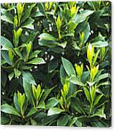 Sweet Bay (laurus Nobilis) Canvas Print