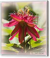 Sweet Dreams Passion Flower Canvas Print