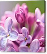 Sweet Lilac Canvas Print