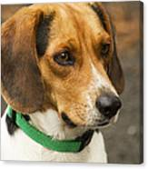 Sweet Little Beagle Dog Canvas Print