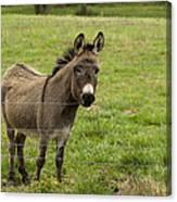 Sweet Little Donkey Canvas Print
