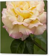 Sweet Peace Rose Canvas Print