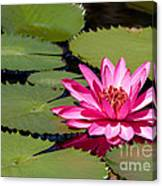Sweet Pink Water Lily In The River Canvas Print