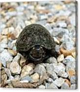 Sweet Turtle Face Canvas Print