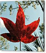 Sweetgum Canvas Print