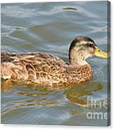 Swimming Duck Canvas Print