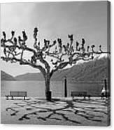 sycamore trees in Ascona - Ticino Canvas Print