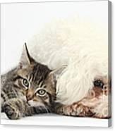 Tabby Kitten And Bichon Fris� Canvas Print