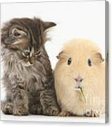 Tabby Kitten With Yellow Guinea Pig Canvas Print