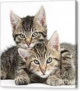 Tabby Kittens Cuddling Canvas Print