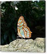 Tailed Jay Butterfly1 Canvas Print