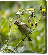Take A Look - Lesser Goldfinch Canvas Print