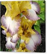 Tall Bearded Iris Named Butterfingers Canvas Print
