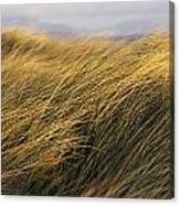 Tall Grass Blowing In The Wind Canvas Print