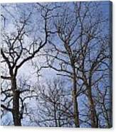 Tall Trees Reaching For A Blue Sky Canvas Print