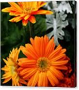 Tangerine Colored Gerbera Daisies Canvas Print