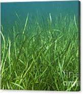Tapegrass In Freshwater Lake Canvas Print