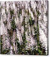 Tasseled Sugarcane Canvas Print