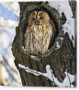 Tawny Owl Strix Aluco In Nest Hole Canvas Print