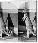 Taxidermy, Kangaroo, Philadelphia Canvas Print