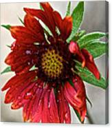 Teary Gaillardia Canvas Print