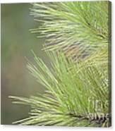 Tender Pines Canvas Print