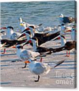 Terns Canvas Print