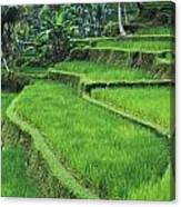 Terraced Fields Of Rice Canvas Print