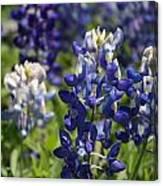 Texas Blue Bonnets Canvas Print