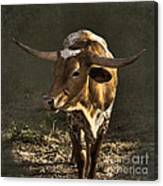Texas Longhorn # 4 Canvas Print