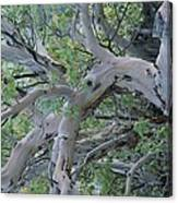 Texas Madrone Tree Limbs Canvas Print
