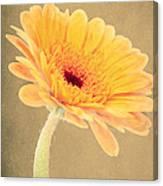 Textured Gerbra Canvas Print
