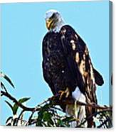 That Eagle Stare Canvas Print