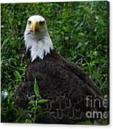 The American Bald Eagle Iv Canvas Print