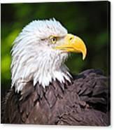 The Bald Eagle Canvas Print