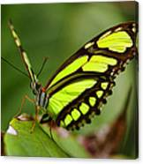 The Beautiful Color Of A Malachi Butterfly Canvas Print