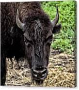 The Bison Stare Canvas Print